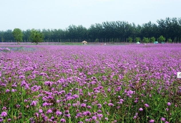 京郊浪漫薰衣草观赏地