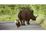 南非犀牛幼仔马路上撒欢