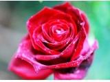 <b>广州玫瑰世界 玫瑰花语</b>